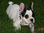 Kleiner Hund zur Silvesternacht entlaufen und gestohlen